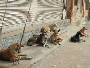 Street dogs of Banki Kalgasa