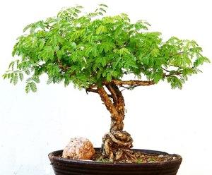 acacia-bonsai